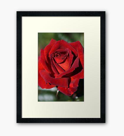 Hot Chocolate Rose Framed Print
