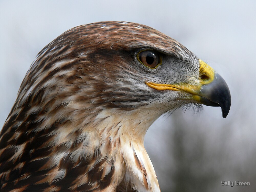 Buzzard by Sally Green