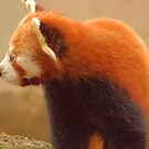Red Panda by R Outram