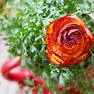 Persian Buttercup In a Large Coffee Cup by Kasia-D