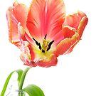 Parrot Tulip on White by Ann Garrett