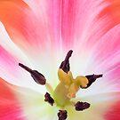 Parrot Tulip Macro by Ann Garrett