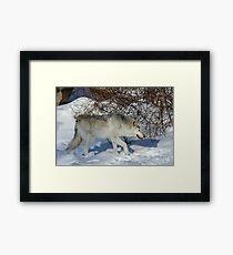 Rocky Mountain gray wolf Framed Print