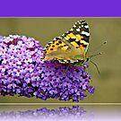 Schmetterling auf Buddhleia im Reflexions-Rahmen von BlueMoonRose