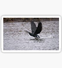 Cormorant Take Off Sticker