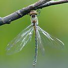 Emerald Dragonfly by Andrew Trevor-Jones