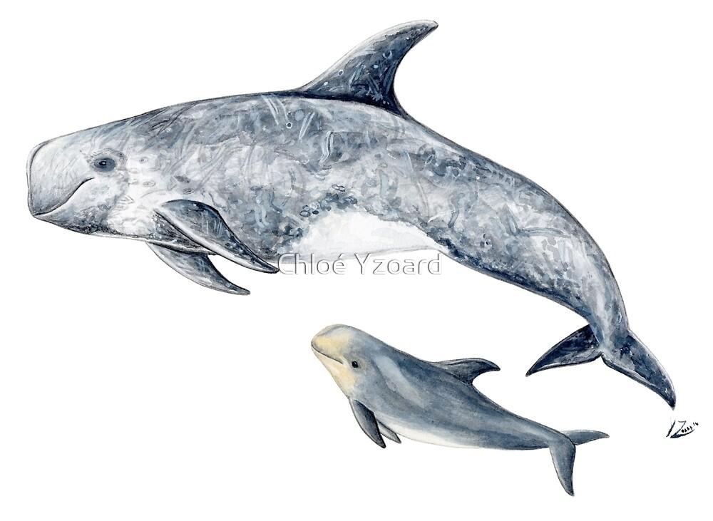 Risso´s dolphin by Chloé Yzoard