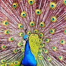 Peacock 2 by ANDREW BARKE