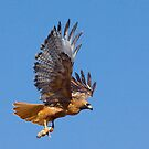 1-31-092 Red Tailed Hawk by Marvin Collins
