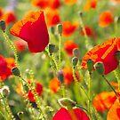 Poppies by Ivo Velinov