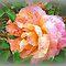 *Avatar/Rose-Close-up*