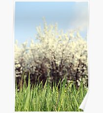green grass white flowers and blue sky Poster