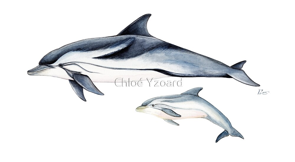 Striped dolphin by Chloé Yzoard