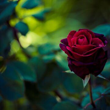 Single Red Rose by lightwanderer