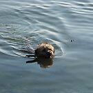 Border Terrier - Sea Dog! by John Honeyman