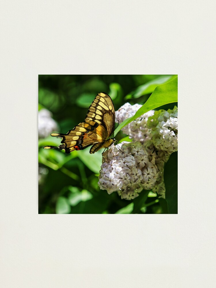 Alternate view of White Phlox & Butterfly Photographic Print