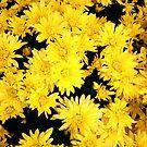 yellow daisies by Sheila McCrea