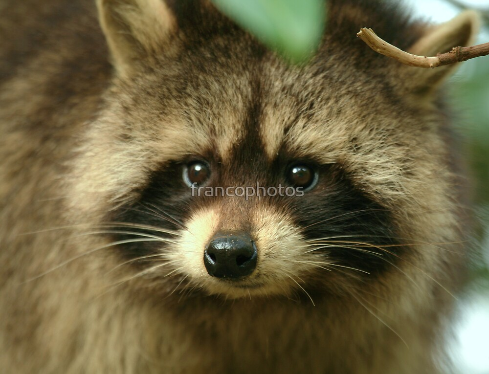 Young Raccoon by Franco De Luca Calce