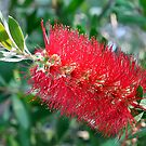 Bottle Brush Tree Blossom by Teresa Zieba