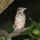 Juvenile American Robin by hummingbirds