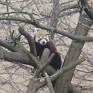 Red Panda by karenuk1969