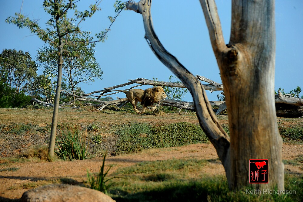 African Lion Running Large by Keith Richardson