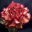 Carnation by Lynette1