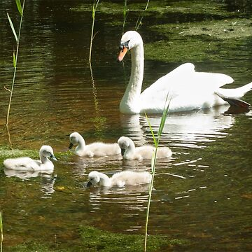 Mother swan and her little ones by steppeland