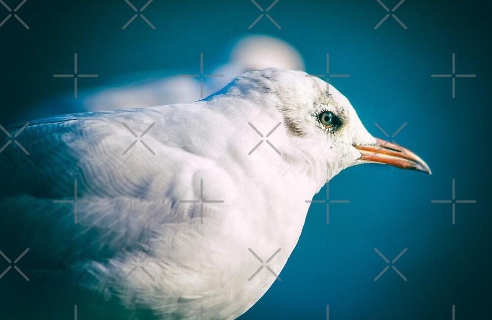 Juvenile Black-headed Gull by heidiannemorris