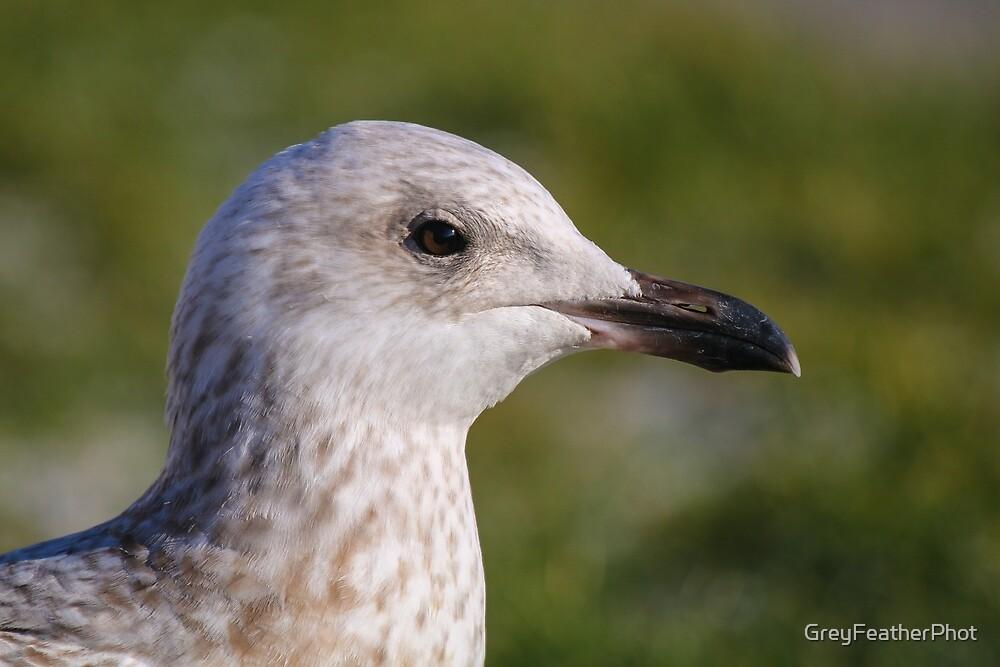 Juvenile Herring Gull by GreyFeatherPhot