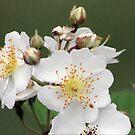 wild rose by erisreg