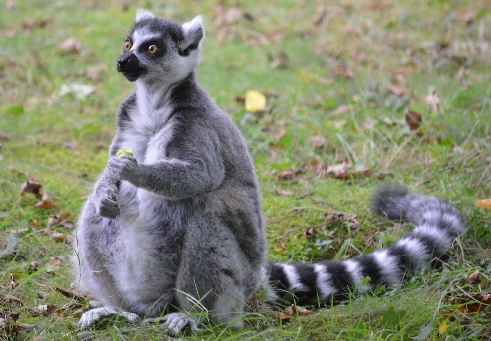 Ring-tailed lemur by Jessamy83