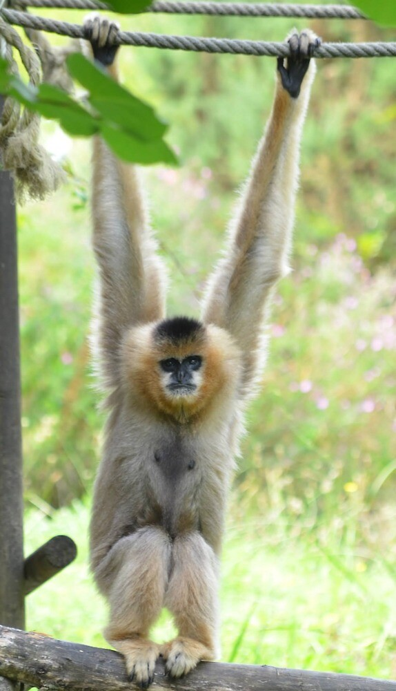 Gibbon playfully swinging on a rope by Jessamy83
