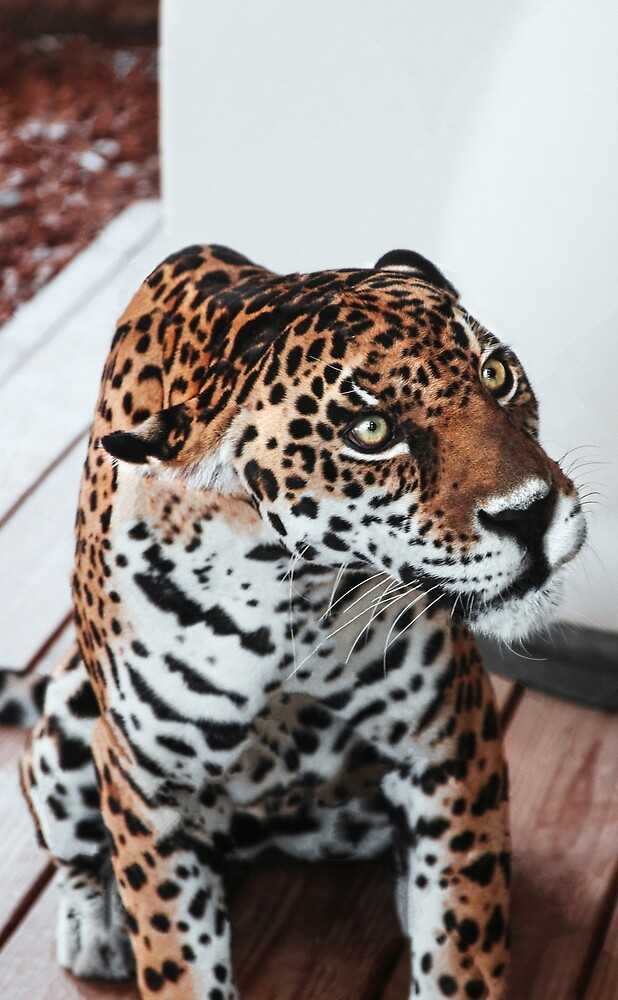 Leopard by AlessioR