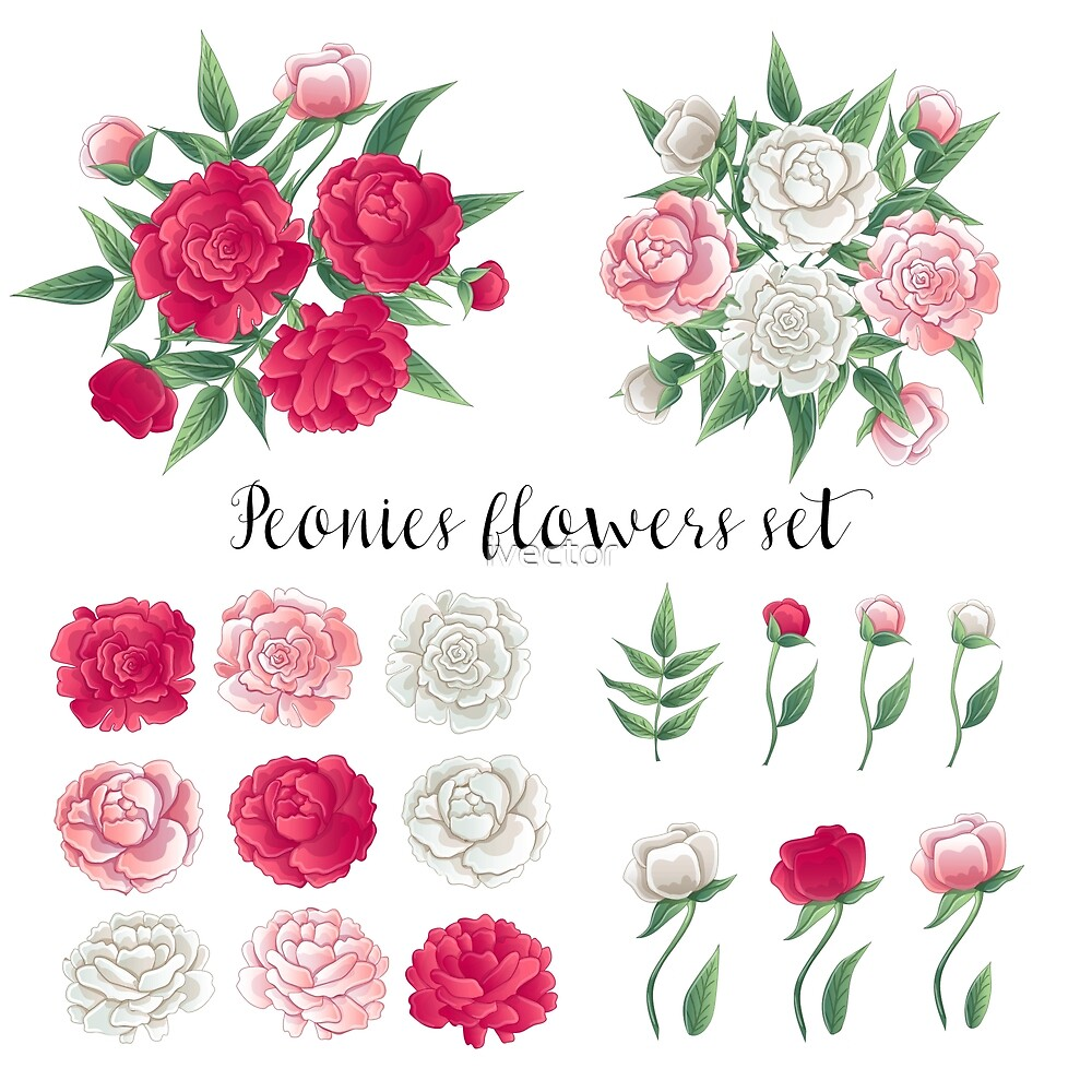 Flowers and Leaves. Pink and White Peonies. Floral Set.  by ivector