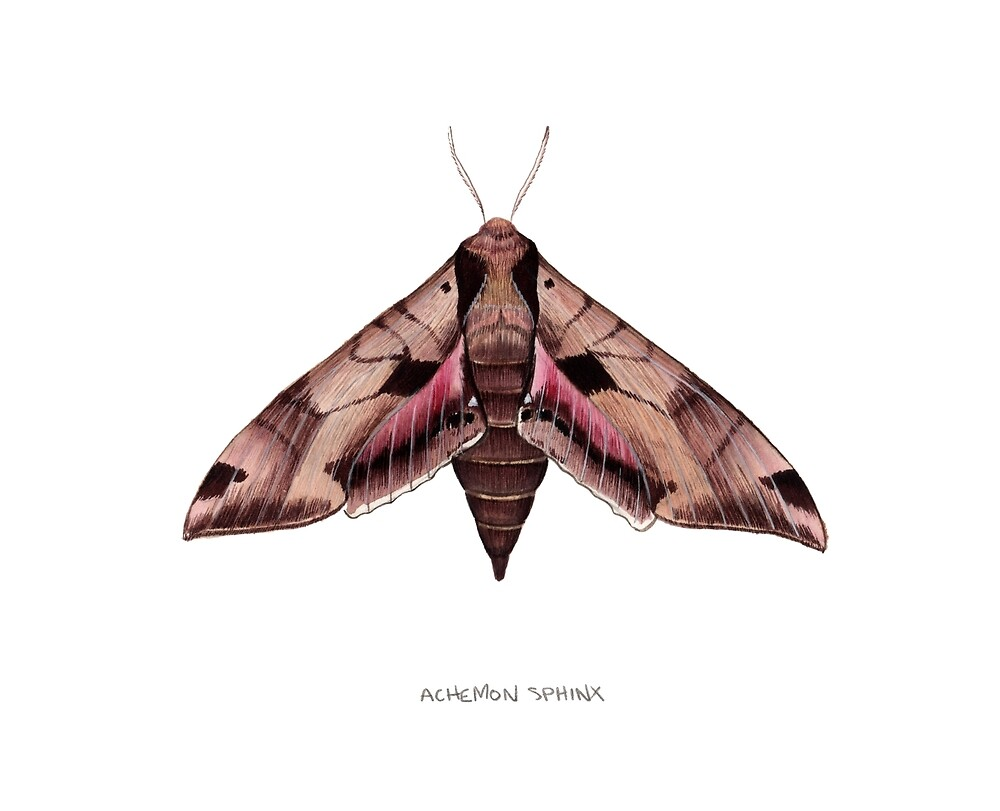 Achemon Sphinx Moth (Eumorpha achemon) by JadaFitch