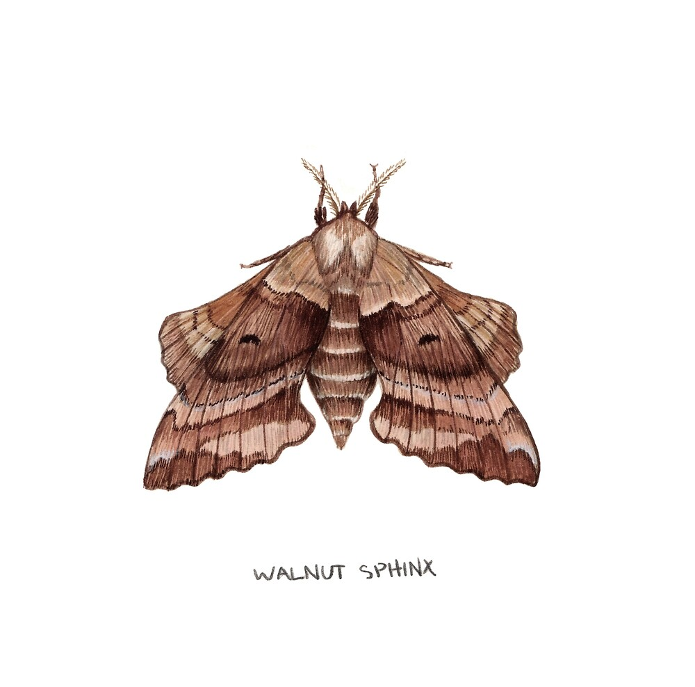 Walnut Sphinx Moth (Amorpha juglandis) by JadaFitch