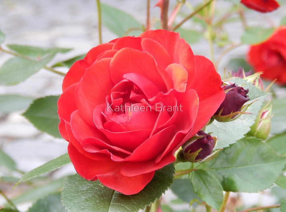 Red Rose with Buds by Kathleen Brant