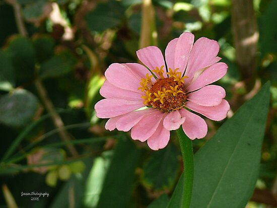 Cotton Candie Pink  by Carla Jensen