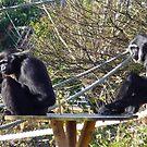 Two Monkeys by karenuk1969