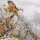 Hawk Landing by CarolM