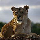 The Lioness by AlMiller