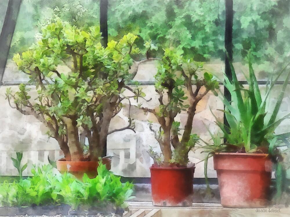 Bonsai in Greenhouse by Susan Savad