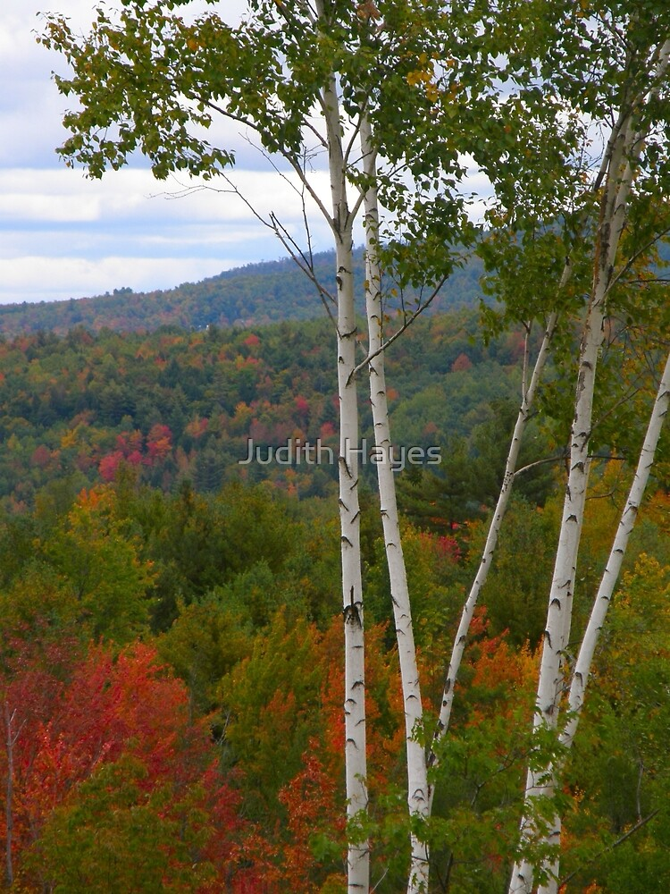 White Birch and Fall Foliage - Maine by Judith Hayes