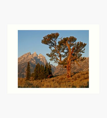 Patriarch Tree & Grand Teton Art Print