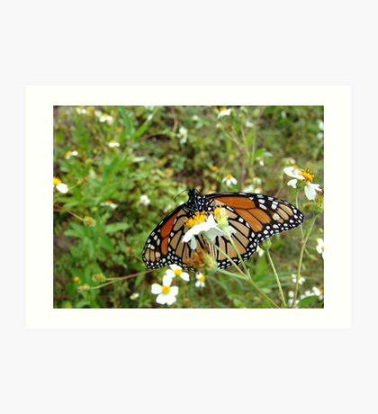 Monarch on Bidens alba Art Print
