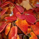 Autumn Glory - Juneberry leaves, Amelanchier, serviceberry by rvjames