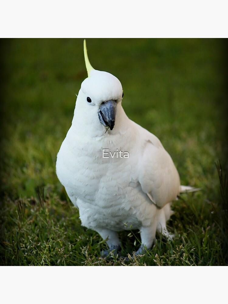 Ein Kakadu von Evita