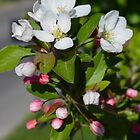 Crabapple Flowers by Drgnfly4free