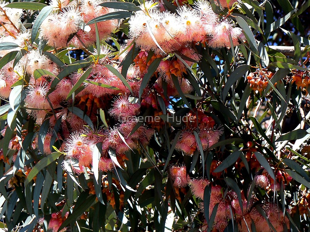 Pink Eucalypts at Hawker, South Australia by Graeme  Hyde